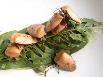 Stink insect en blad Royalty-vrije Stock Fotografie
