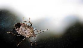 Stink Insecten Dichte Omhooggaand Royalty-vrije Stock Fotografie