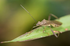 Stink insectenmacro Royalty-vrije Stock Foto