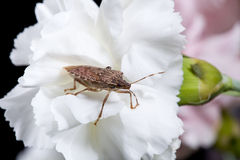 Stink or shield bug on carnation Stock Photo