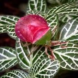 Stinkbug στον κήπο μου Στοκ Φωτογραφίες