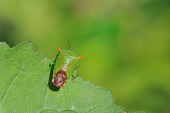 Stinkbug. The stinkbug is in the edge of leaf.I guess he wants to fiy Stock Photo