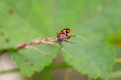 stinkbug Stock Images