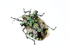 Stinkbug Royalty Free Stock Photos