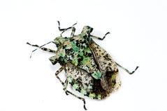 stinkbug Стоковые Фотографии RF