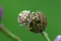 Stinkbug Stock Image