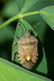 Stinkbug Royalty Free Stock Photography