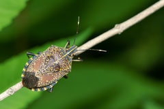 Stinkbug Royalty Free Stock Images