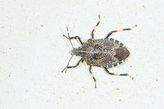 Stinkbug Royalty Free Stock Image