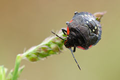 A stinkbug. A black stinkbug on plants Stock Photo
