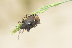 Stinkbug Stock Photo
