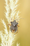 Stinkbug Stock Photos