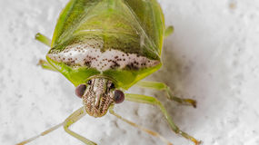 Stinkbug Extreme Closeup Stock Images