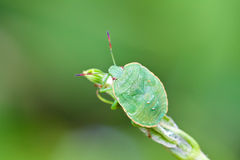 Stinkbug on green leaf in the wild. A kind of insects named stinkbug Stock Photography