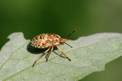 stinkbug Royalty Free Stock Photo
