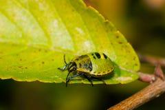 Stinkbug larvae Stock Image