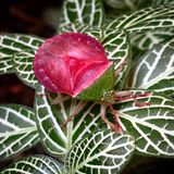 Stinkbug in my garden. Insect n variegated leaves Stock Photos