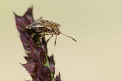 A stinkbug in nature light Royalty Free Stock Photos