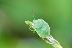 Stinkbug på den gröna leafen i det wild Arkivbild
