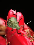 Stinkbug on red flower Stock Image