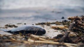 Stinken Sie die toten Fische, die auf verunreinigter Küste, der Giftmüll verfallen, der Natur schädigt stockbild