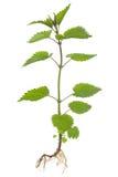 Stinkende netel (dioica Urtica) royalty-vrije stock foto