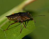 Stinkfly Pentatoma rufipes Στοκ Φωτογραφία