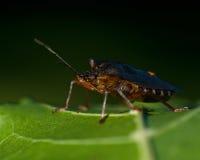 Stinkfly Pentatoma rufipes Arkivfoto