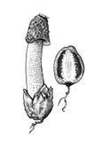 Stinkhorn champinjonillustration, teckning, gravyr, linje konst Royaltyfri Illustrationer