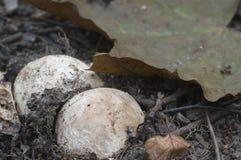 Stinkhorn de terrain communal d'impudicus de phallus Photos stock
