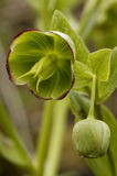 Stinking Hellebore Royalty Free Stock Photography