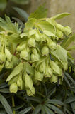 Stinking Hellebore Stock Photos
