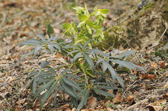 Stinking Hellebore - Helleborus foetidus Royalty Free Stock Photography