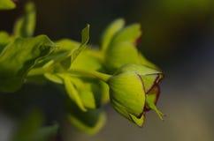 Stinking Hellebore (Helleborus foetidus) Royalty Free Stock Photography