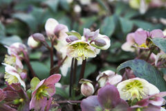 Stinking hellebore Royalty Free Stock Images