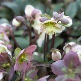 Stinking hellebore (Helleborus foetidus). In the garden Royalty Free Stock Photo