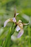 Stinking Iris Royalty Free Stock Images