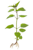 Stinking nettle (Urtica dioica) Royalty Free Stock Photo