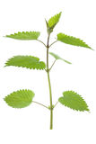 Stinking nettle (Urtica dioica) Royalty Free Stock Image
