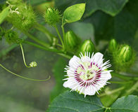 Stinking  Passiflora Stock Photo