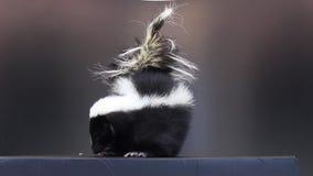 Stinktier auf schwarzem Hintergrund stock video footage