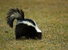 Stinktier (Mephitis Mephitis) schnüffelt im Gras Stockbild