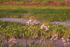 Stinkweed или африканская капуста Стоковая Фотография RF