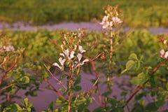 Stinkweed или африканская капуста Стоковое Изображение