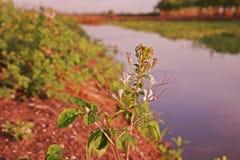 Stinkweed или африканская капуста Стоковые Фотографии RF