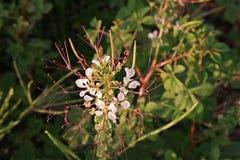 Stinkweed или африканская капуста Стоковые Изображения RF