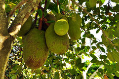 Stinky fruit - Durian on a tree branch Stock Photo