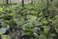 Stinky skunk cabbage Royalty Free Stock Image
