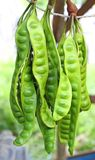 Stinky string beans also known as Petai or Sataw Stock Photos