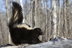 Stinky. A young skunk on alert on a log with tail up Royalty Free Stock Image